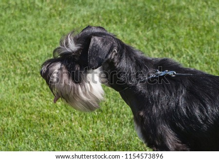 Standard Schnauzer dog on a lawn. #1154573896