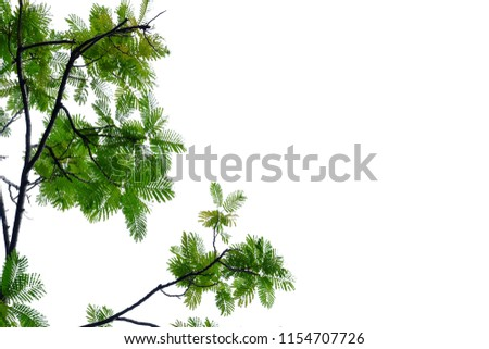 Peacock tree leaves with branches on white isolated background for green foliage backdrop  #1154707726