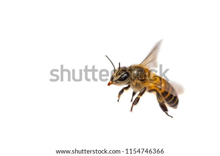 A close up of flying bee isolated on white background #1154746366