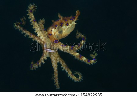Blue ring octopus (Hapalochlaena lunulata). Picture was taken in Lembeh strait, Indonesia
