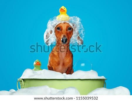 Dachshund dog having bath in a basin #1155039532