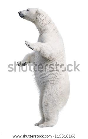 White polar bear stand. Isolated on white background