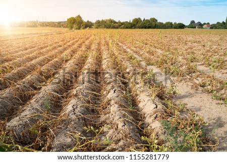 Agriculture in Germany. In the hot summer, the dryness destroys the cultivated plants. The plants are dried up in the rows on the dry, crusty soil. #1155281779