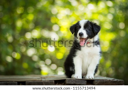 adorable portrait of amazing healthy and happy black and white border collie puppy #1155713494