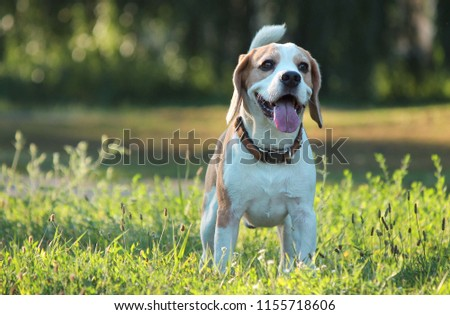 beagle in the park #1155718606