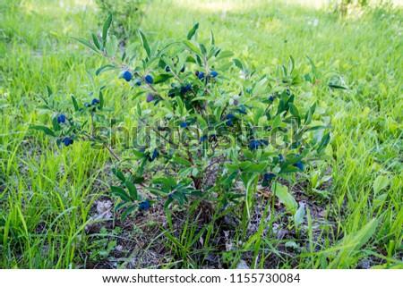 Blue honeysuckle (Lonicera caerulea var. edulis). Known also as Honeyberry, Blue-berry honeysuckle, Sweetberry honeysuckle and Haskap berry.  #1155730084