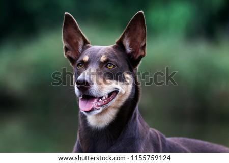 Summer portrait of smart chocolate brown and sable tan working Australian kelpie dog. Attractive smiling national Australian breed Australian sheep dog outside with yellow eyes and green background #1155759124