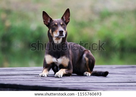 Summer portrait of smart chocolate brown and sable tan working Australian kelpie dog. Attractive national breed of Australia  Australian sheep dog lies on a wooden pier outside with green background #1155760693