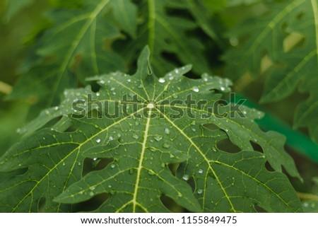 Wet green leafe after raining, Papaya leaves. #1155849475