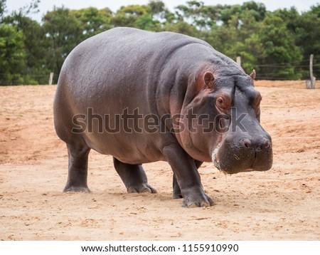 The common hippopotamus, Hippopotamus amphibius, or hippo, is a large, mostly herbivorous, semiaquatic mammal native to sub-Saharan Africa #1155910990