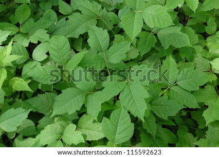 Poison ivy leaves (disambiguation)