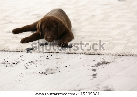 Cute dog leaving muddy paw prints on carpet #1155953611