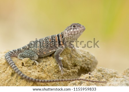 """The name """"collared lizard"""" comes from the lizard's distinct coloration, which includes bands of black around the neck and shoulders that look like a collar. #1155959833"""
