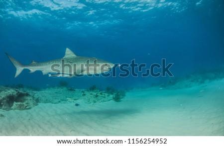 Picture shows a Tiger shark at Tigerbeach, Bahamas #1156254952
