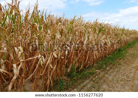 Food Crisis, Global Warming, Drought - dry corn field in august 2018 near Weinheim, Southern Germany #1156277620