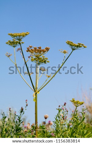Fresh fennel blossoms against the blue sky. Close up of blooming dill flowers in seasoning kitchen garden.Selective focus, social network concept. #1156383814
