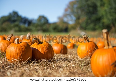 orange pumpkins at outdoor farmer market. pumpkin patch.  Copy space for your text #1156398508