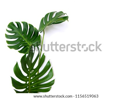 Tropical jungle Monstera leaves isolated, Swiss Cheese Plant,  isolated on white background Royalty-Free Stock Photo #1156519063