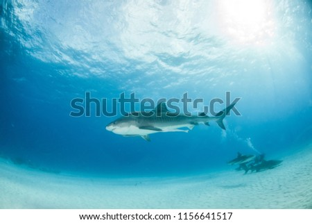 Picture shows a Tiger shark at Tigerbeach, Bahamas #1156641517
