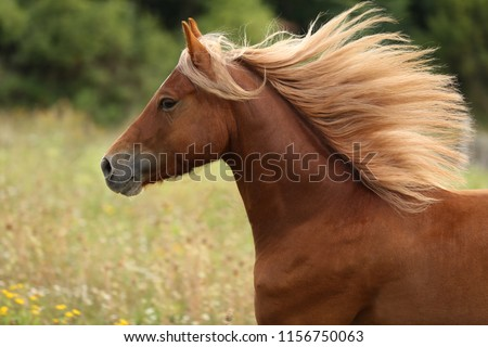 beautiful brown horse, welsh pony running with long mane, galloping horse, equine portrait #1156750063