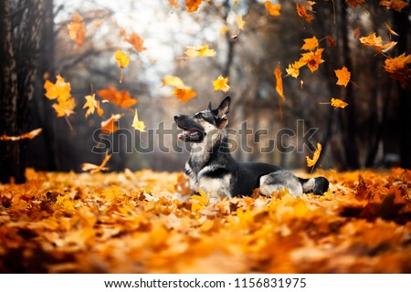 the dog lies in the foliage. East European Shepherd. flying leaves. autumn  #1156831975