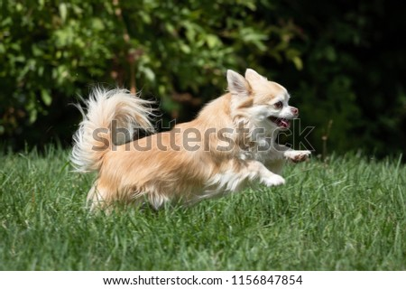 Long haired chihuahua playing