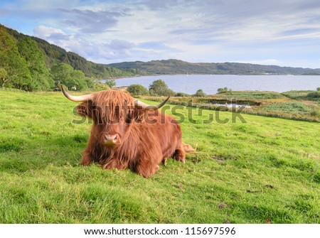 A resting red highland cow #115697596