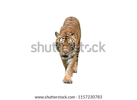 tiger action isolate on white #1157230783