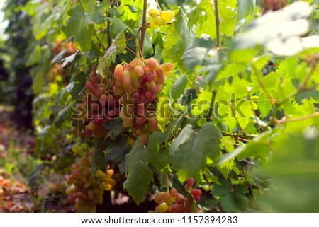 Ripe grapes on the vineyard, harvest time. Future juice or wine. #1157394283