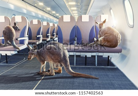 kangaroo in the airplane cabin interior. Photo combinated concept
