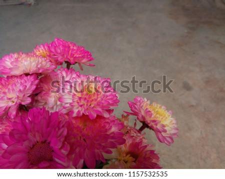 Chrysanthemum in chrysanthemum garden, chrysanthemum in autumn, chrysanthemum flower, pink, white, yellow, beautiful #1157532535