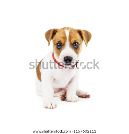 Jack russel puppy isolated on white. Animal photography #1157602111