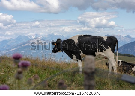 Black and white mottled cows resting in the meadows #1157620378