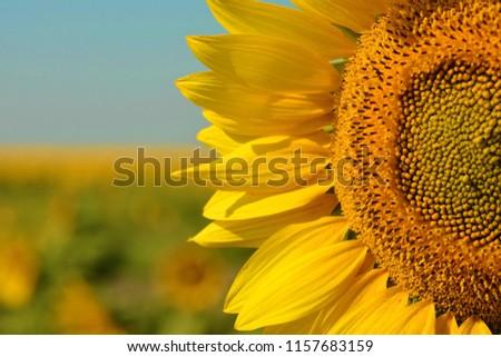 Standout sunflower in a field #1157683159