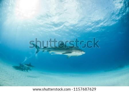Picture shows a Tiger shark at Tigerbeach, Bahamas #1157687629