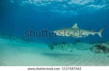 Picture shows a Tiger shark at Tigerbeach, Bahamas #1157687662