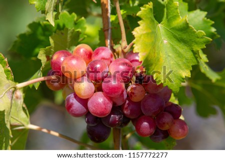 A front selective focus picture of grape fruit in organic agriculture farm Close-up Grape harvesting #1157772277