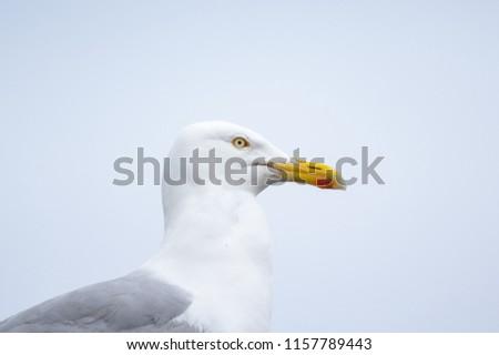 European herring gull (Larus argentatus) #1157789443