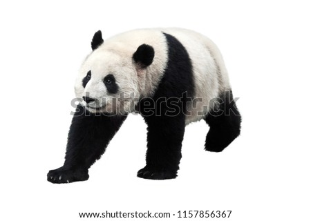 Giant panda isolated on white background. Giant pandas are no longer an endangered species. No people. Copy space