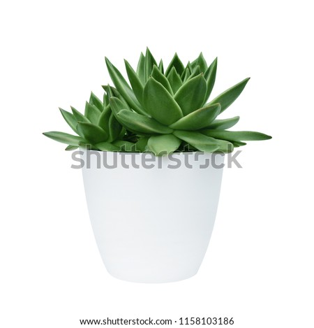 succulent in a white pot on a white background isolated Royalty-Free Stock Photo #1158103186