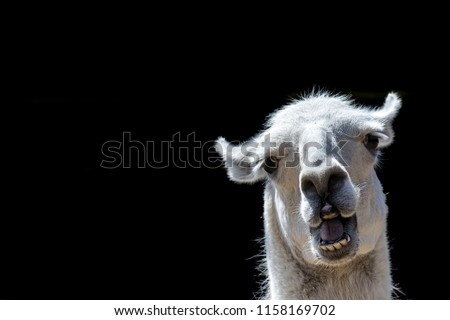 Stupid looking animal. Goofy llama. Funny meme image with copy-space. Dumb animal with silly expression isolated against black background for customised message or text. #1158169702