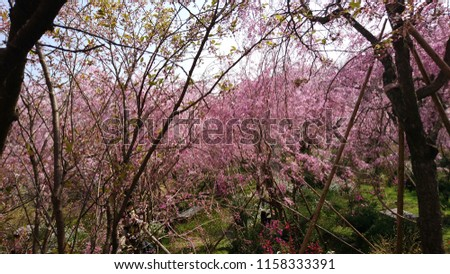 Scenery of cherry blossoms #1158333391