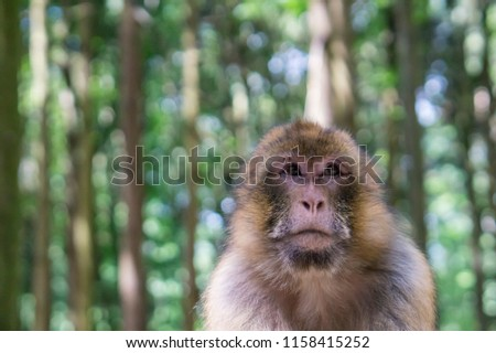Beautiful Barbary Macaque in sunny forest #1158415252