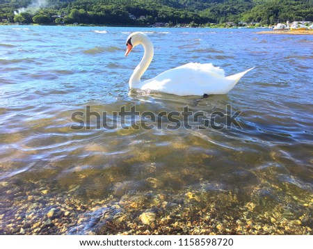 close-up white swan in the lake so beautiful,photo blurred #1158598720