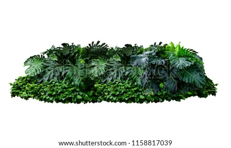 Tropical Monstera Splitleaf Philodendron nature plant isolated backdrop include clipping path on white background.closeup spring botanic decoration floral rain forest plant. #1158817039