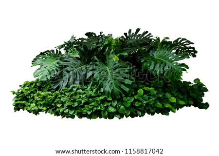 Tropical Monstera Splitleaf Philodendron nature plant isolated backdrop include clipping path on white background.closeup spring botanic decoration floral rain forest plant. #1158817042