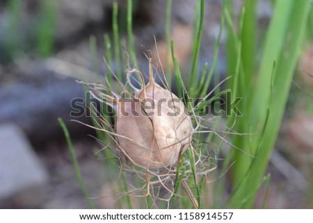 Closeup photograph of a dry Nigella Damascena (love-in-a-mist) seedpod, taken on a sunny summer day. #1158914557
