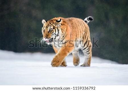 Siberian Tiger in the snow (Panthera tigris) #1159336792