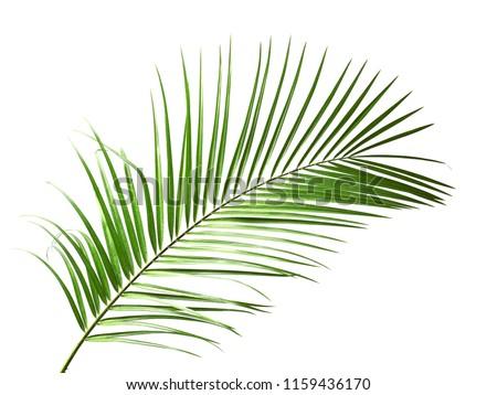 Fresh tropical date palm leaf on white background #1159436170