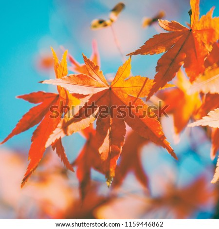 Closeup autumn maple tree leaves with blue sky background #1159446862